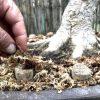 concimazione bonsai