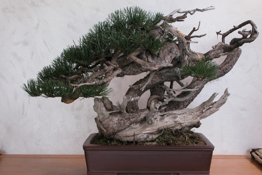 bonsai concimato