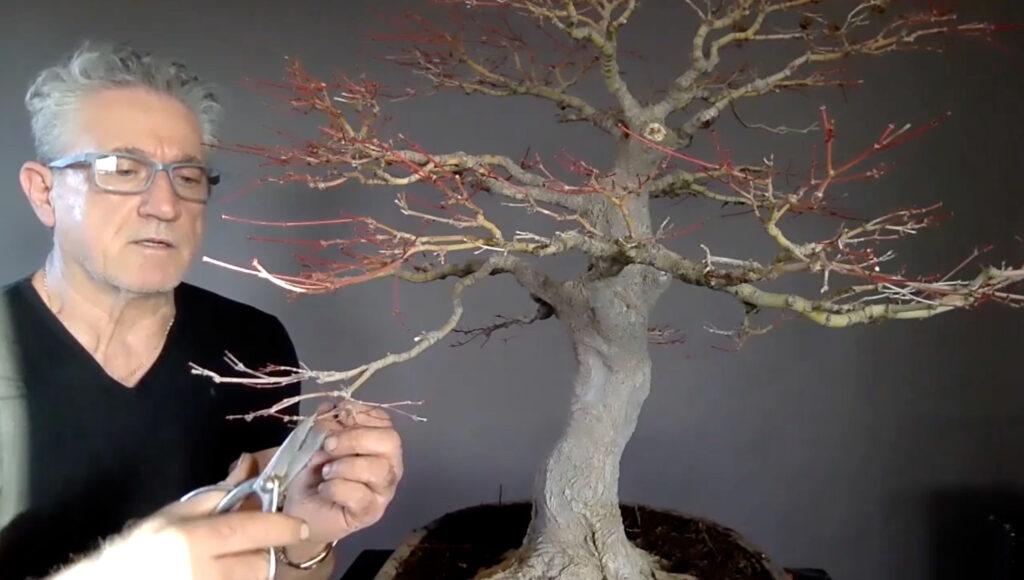 potatura bonsai contenimento
