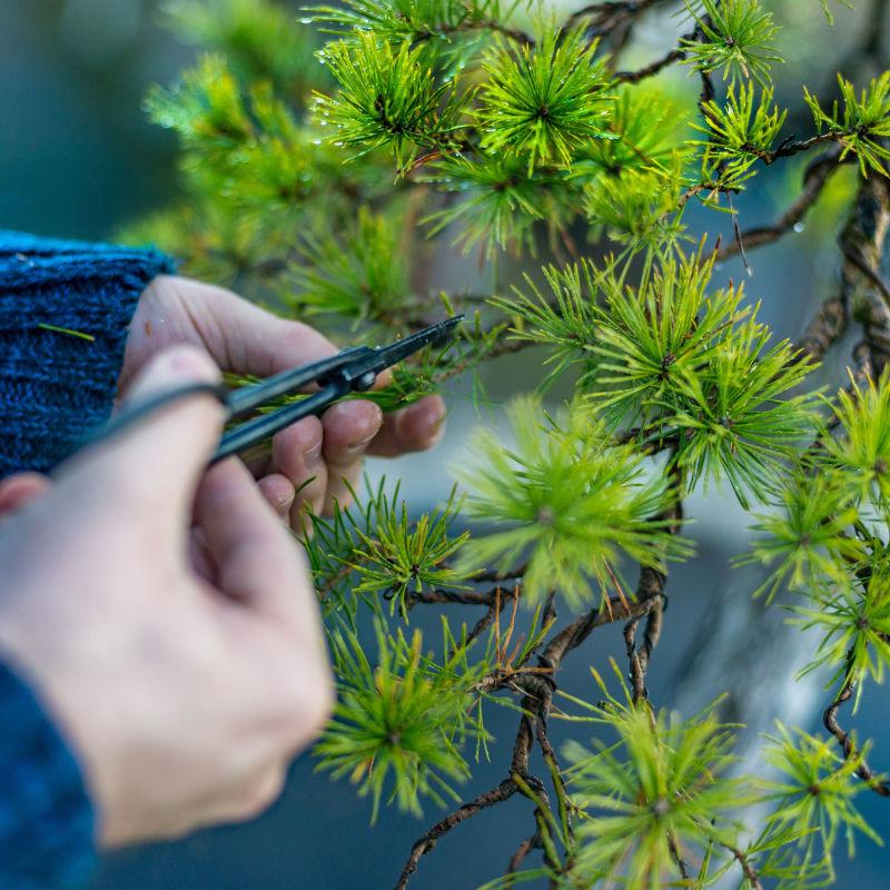 potatura bonsai pino